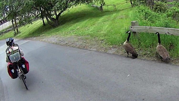 Geese at Vassar Farm Pond 2017-05-21 - detail