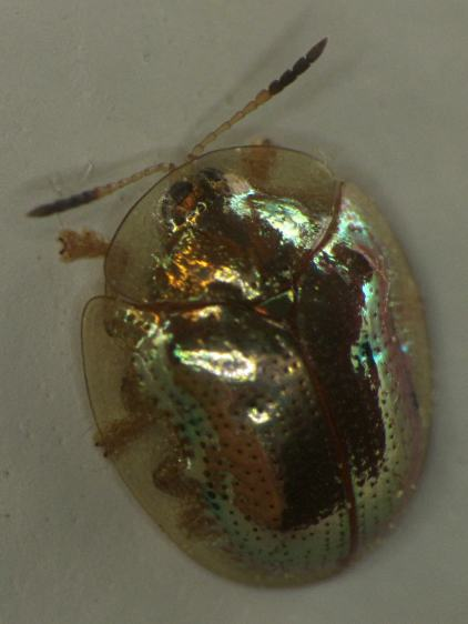 Golden Tortoise Beetle - left top - dark