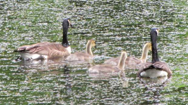Goslings at Vassar Farm Pond - 2017-06-04 - alert