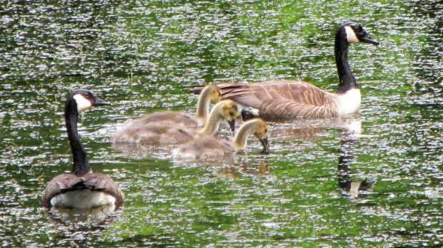 Goslings at Vassar Farm Pond - 2017-06-04 - family