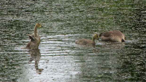 Goslings at Vassar Farm Pond - 2017-06-04 - wing exercise