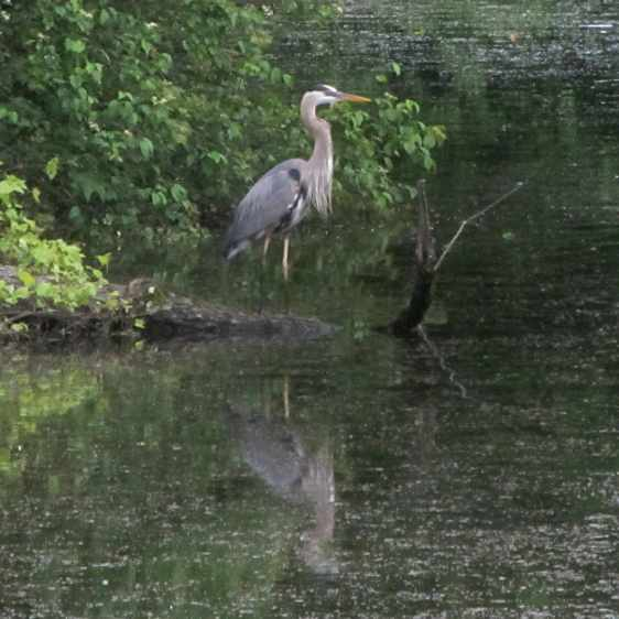 Great Blue Heron - swallowing