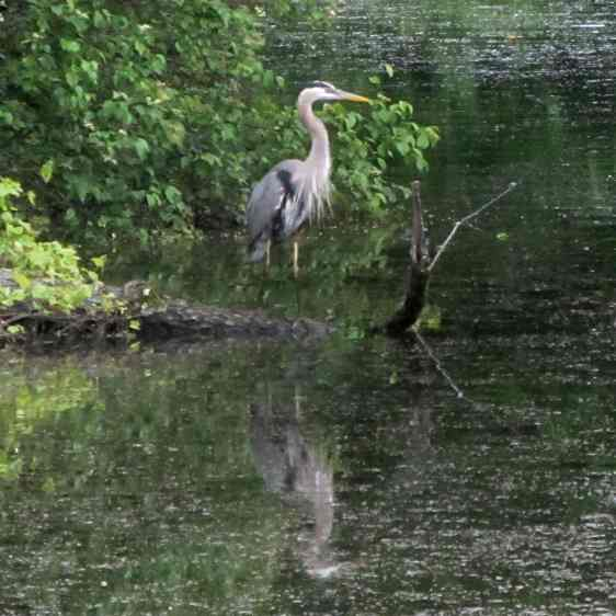 Great Blue Heron - ruminating
