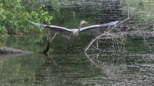 Great Blue Heron - takeoff