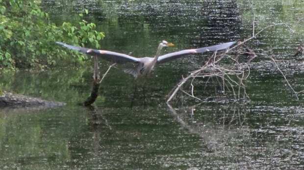 Great Blue Heron - takeoff
