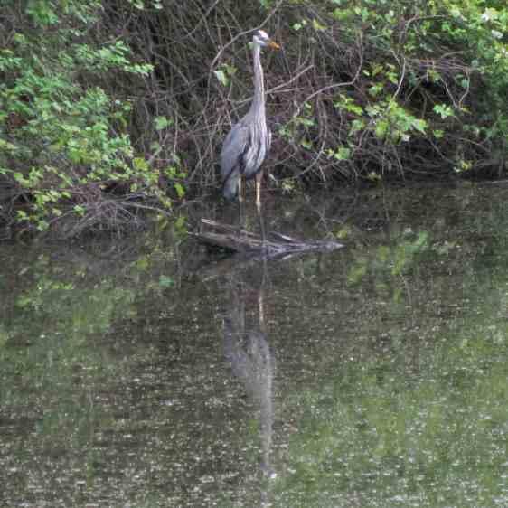 Great Blue Heron - idling