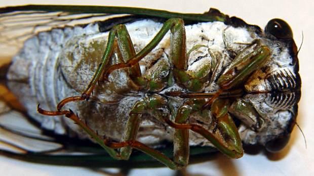 Cicada 1 - ventral