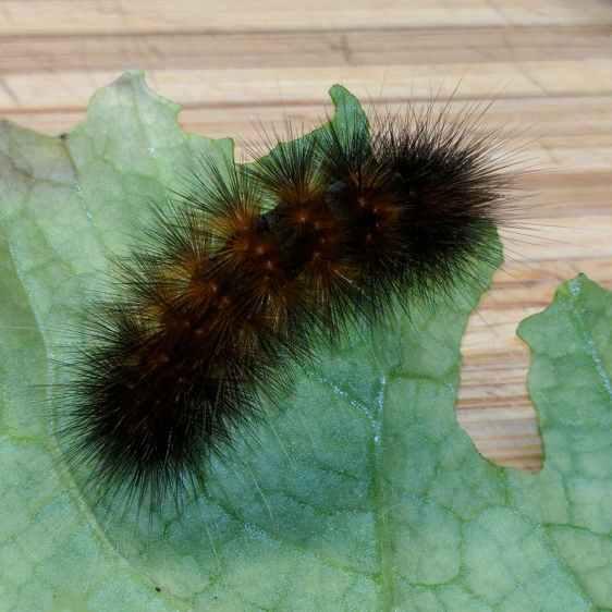 Mystery Caterpillar - black morph