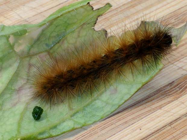 Mystery Caterpillar - brown morph