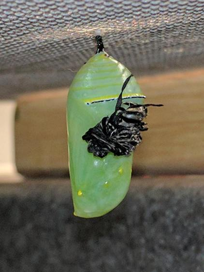 Monarch Chrysalis - with skin