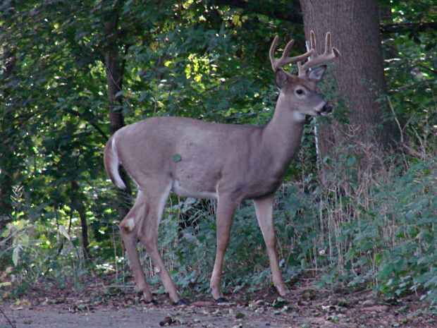Eight point buck deer in velvet