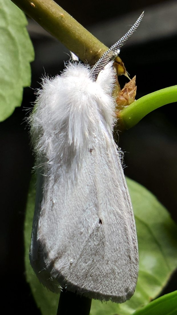 Spilosoma virginica 1 - right