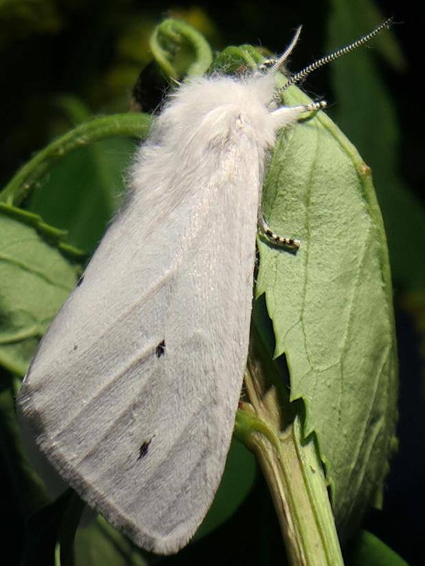 Spilosoma virginica 2 - right