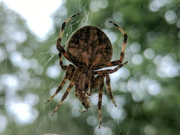 Orb Weaving Spider - with insect