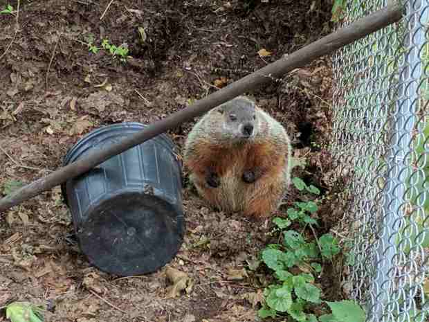 Groundhog in the compost bin - front