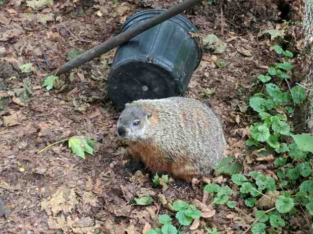 Groundhog in the compost bin - left