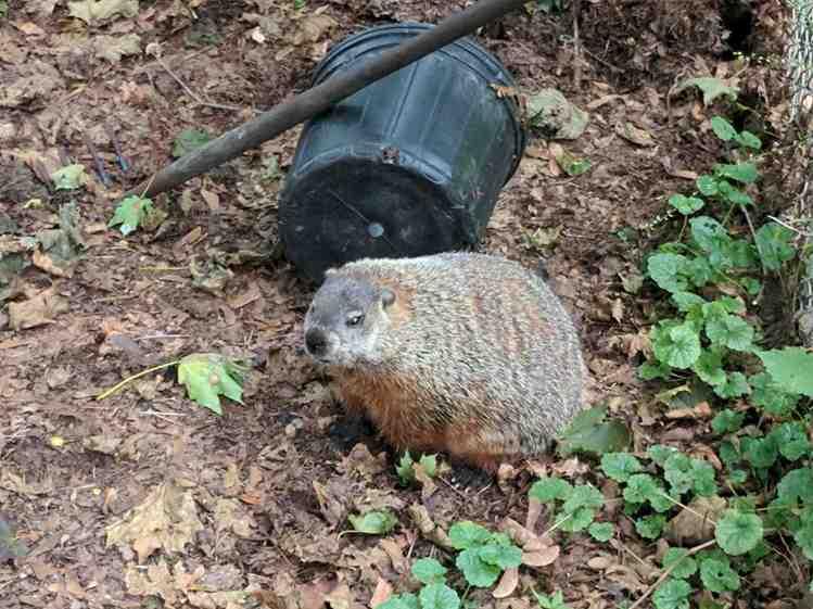 Groundhog in the compost bin - left