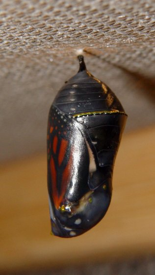 Monarch chrysalis - ready - left
