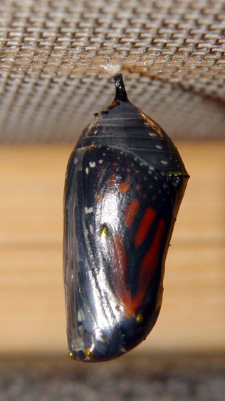 Monarch chrysalis - ready - right
