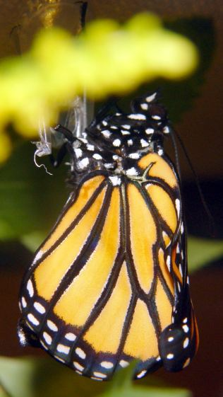 Monarch unfolding - left