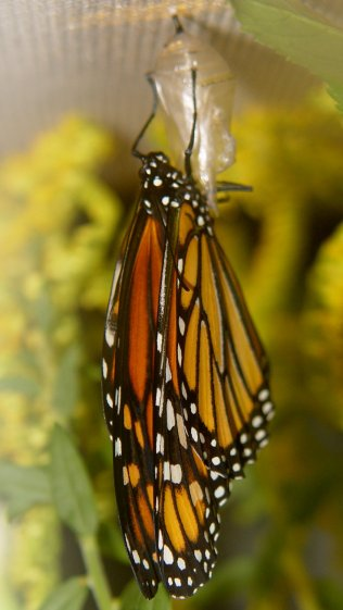 Monarch unfolding - right