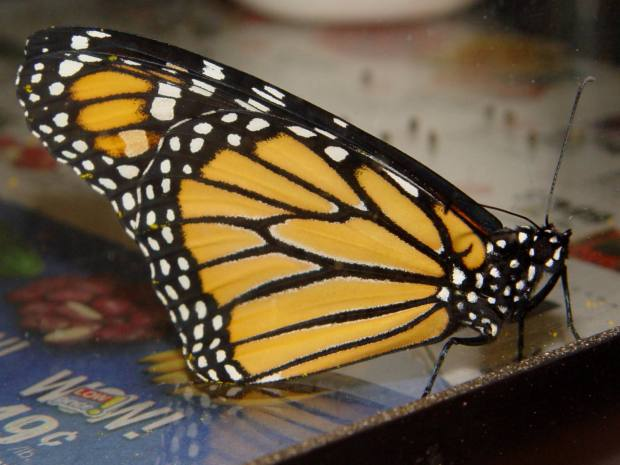Monarch unfolded - right
