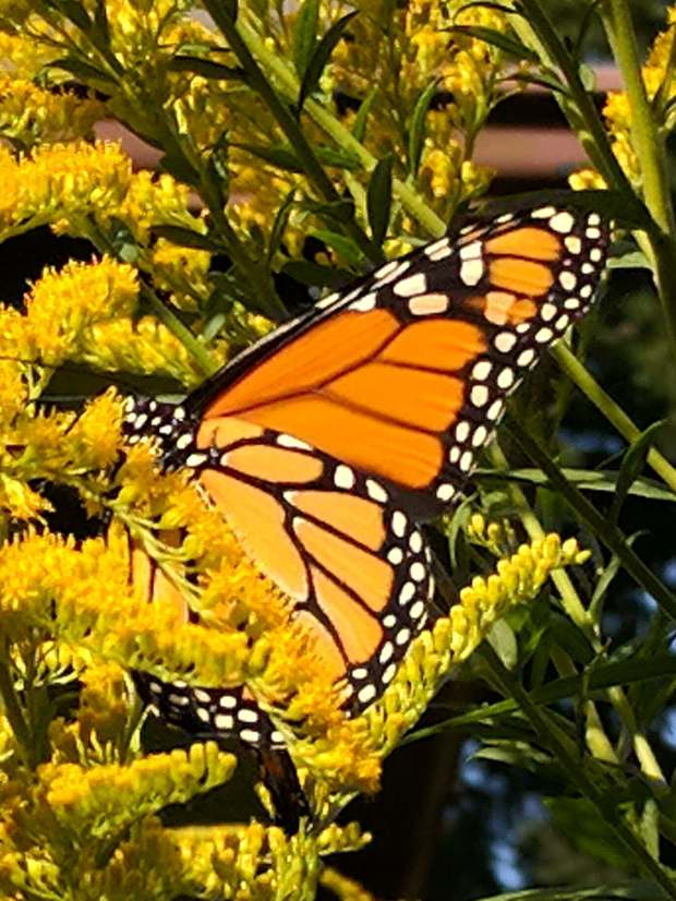 Monarch on Goldenrod - left