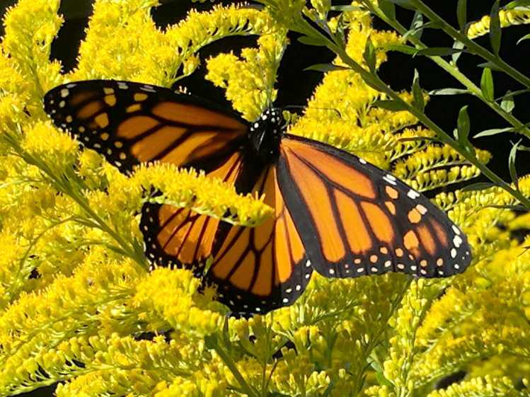 Monarch on Milkweed - dorsal