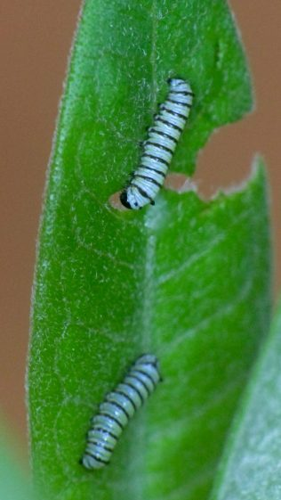 Monarch caterpillars - 4 mm - 2017-08-03