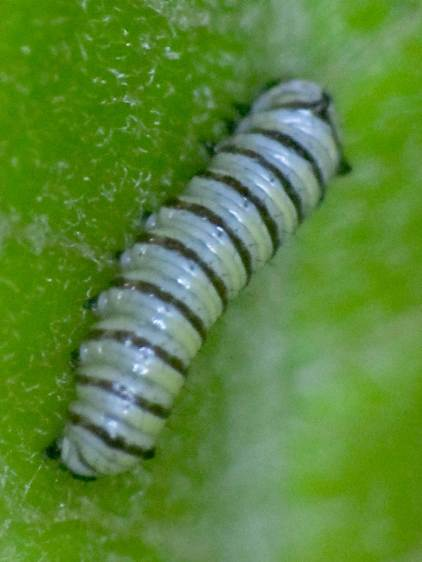 Monarch caterpillar 2 - 4 mm - 2017-08-03