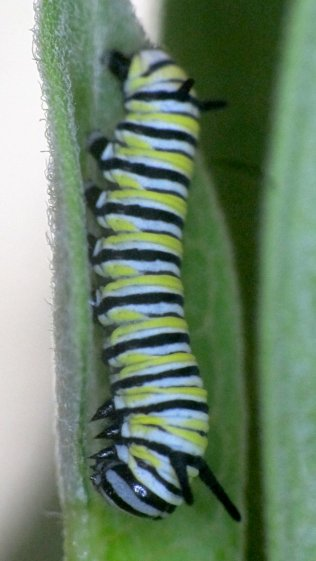 Monarch caterpillar - 2017-08-09