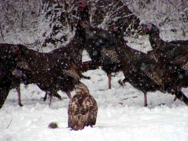 Hawk with squirrel - 2