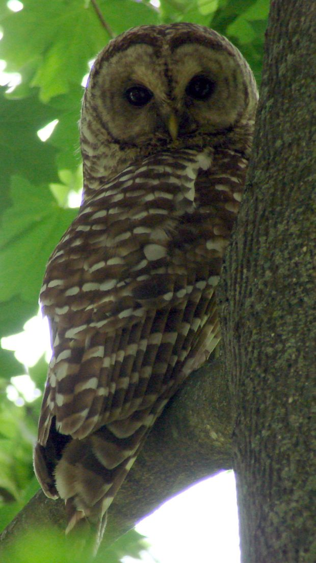 Barred Owl - daytime