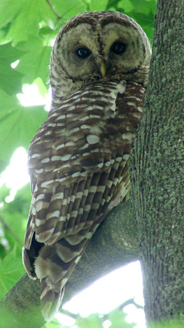 Barred Owl - daytime - 1 EV
