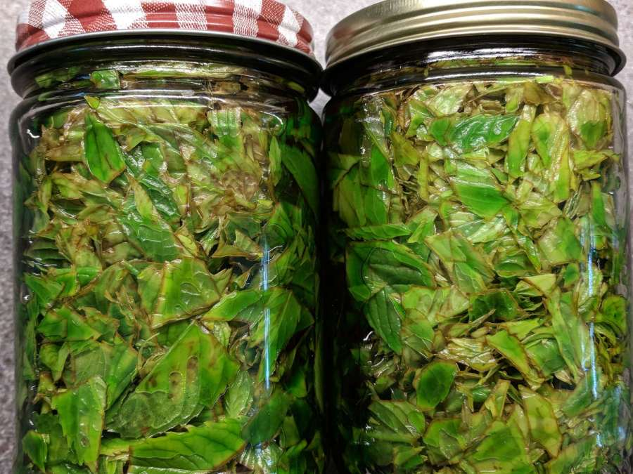 Mint Extract - browning leaves - 2018-05-30