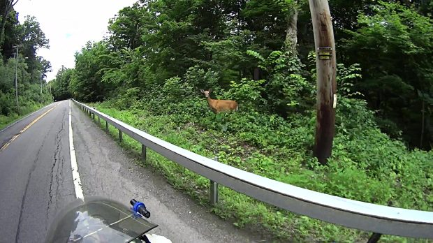 Roadside Deer - Rt 376 Marker 1111 - 2018-06-20