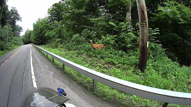 Roadside Deer - Rt 376 Marker 1111 - 2018-06-20