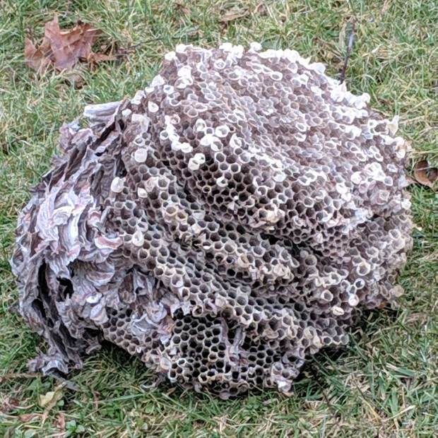 Paper Wasp  Nest - side view
