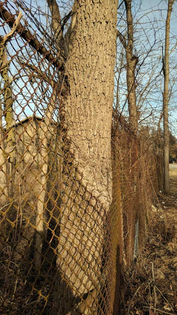 Tree growing through chain-link fence