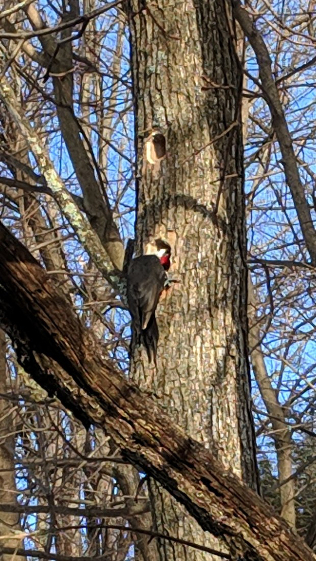Pileated woodpecker - exploring hole