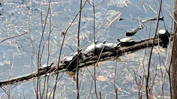 Turtles snuggling - Lake Walton - 2019-03-14