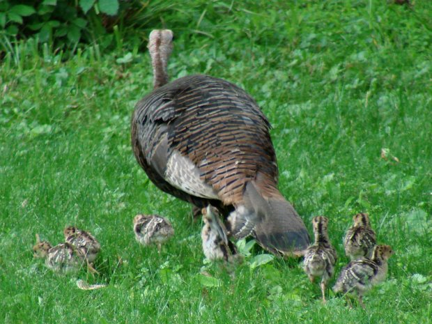 Turkey hen with chicks - dispersing