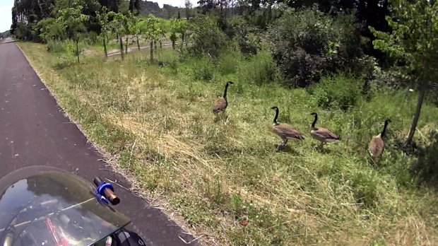 HVRT New Paltz - Canada geese - Westbound - 2019-07-16