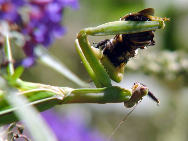 Mantis vs Bumblebee - disassembly