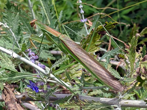 Praying Mantis - brown wing covers - on bush
