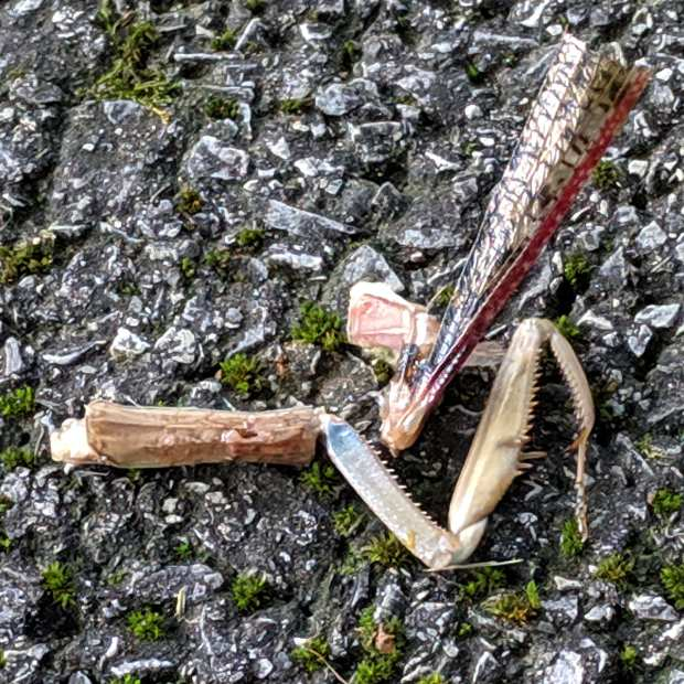 Praying Mantis - foreleg and wing parts