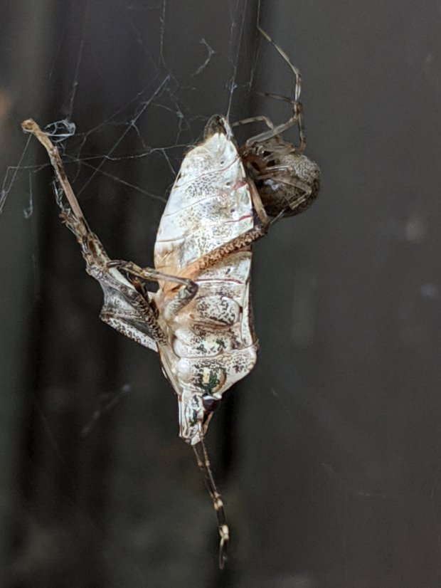 Spider vs. Marmorated Stink Bug