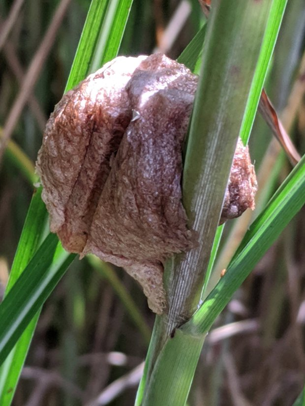 Praying Mantis egg mass A