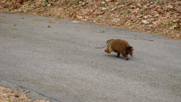 Groundhog - trotting on driveway