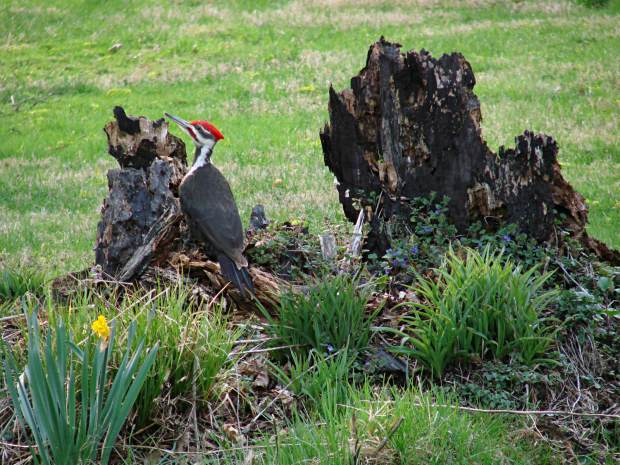 Pileated Woodpecker - front yard stump